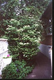 Shade Garden, Highbush Cranberry in Bloom