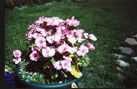 A Pot of Lavatera