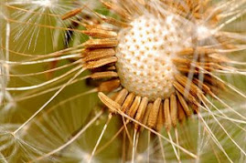 Coming Your Way - dandelion seeds