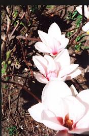 Magnolia in bloom in Ottawa
