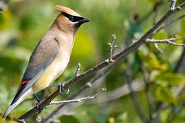 A visitor to apple trees, a cedar waxwing