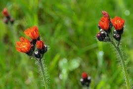 Hawkweed, a wild flower in bloom now