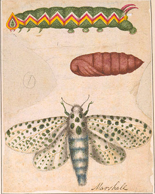 Leopard moth (Zeuzera pyrina), caterpillar, and pupa