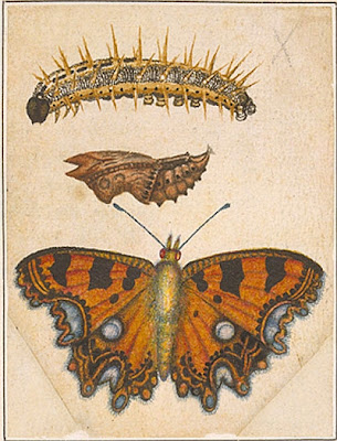 Orange and blue butterfly, caterpillar, and pupa