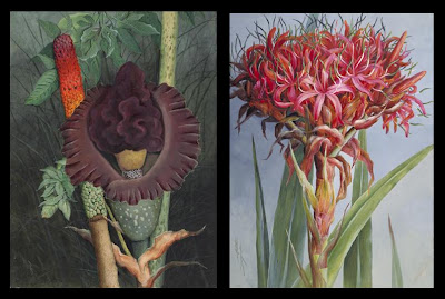 Amorphophallus Flower and Gymea Lily