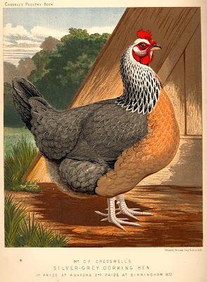 Silver-Grey Dorking Hen