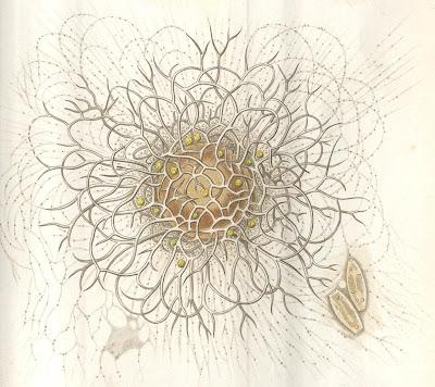 Haeckel 1865, Plate 1 (detail b)