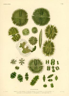 Bacillaria, Euastrum