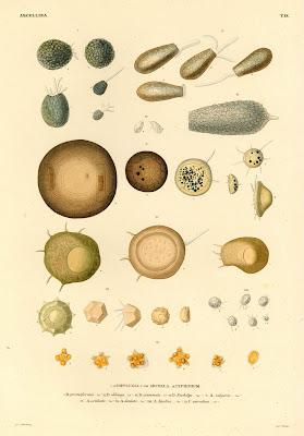 Diffluglia, Arcella, Cyphidium
