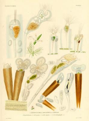 Floscularia, Melicerta, Limnias