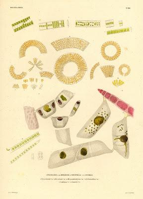 Fragilaria, Meridion, Odontella, Isthmia