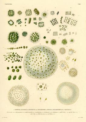 Gonium, Eudorina, Syncrypta, Sphaerosira, Synura etc