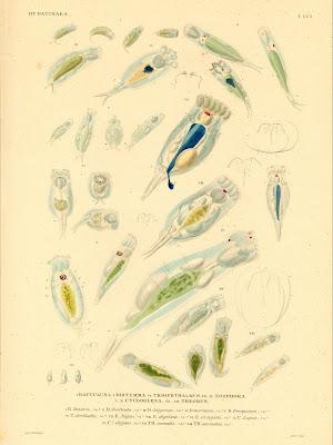 Hydatinaea, Rattulus, Distemma, Triophthalmus, Eosphora, Cycloglena, Theorus