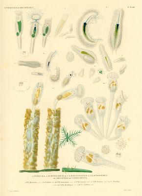 Ichthydina, Oecistina, Ptygura, Ichthydium, Chaetonotus, Glenophora, Oecistes, Conochilus