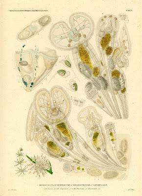 Megalotrochaea Floscularia, Microcodon, Cyphonautes, Megalotrocha, Lacinularia