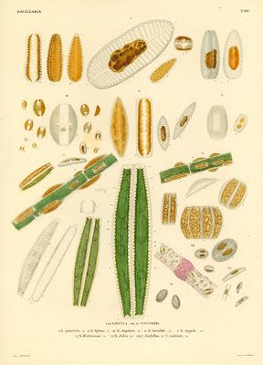 Navicula, Cocconeis