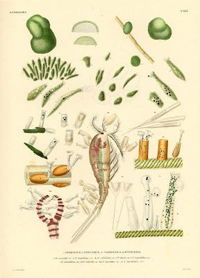 Ophydium, Tintinnus, Vaginicola, Cothurnia