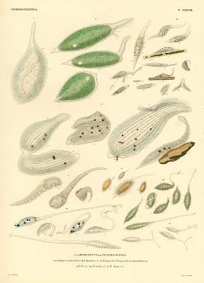 Ophyrocercina, Amphileptus, Trachelocera