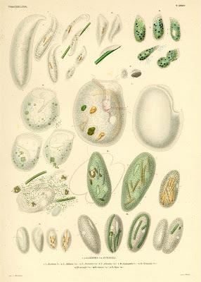 Trachelina, Loxodes, Bursaria