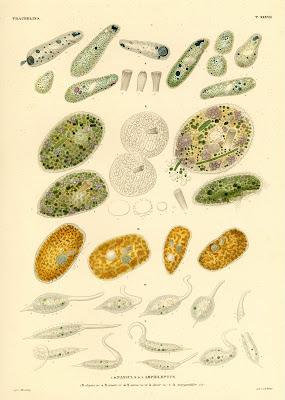 Trachelina, Nassula, Amphileptus