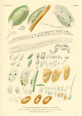 Trachelina, Spirostomum, Phialina, Glaucoma, Chilodon