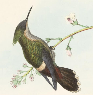 Lophornis verreauxi - Gould hummingbird illustration