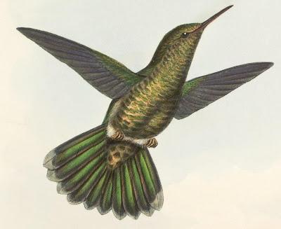 Metallura primolinus, Bonap. - hummingbird sketch