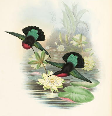 Eulampis jugularis - hummingbirds