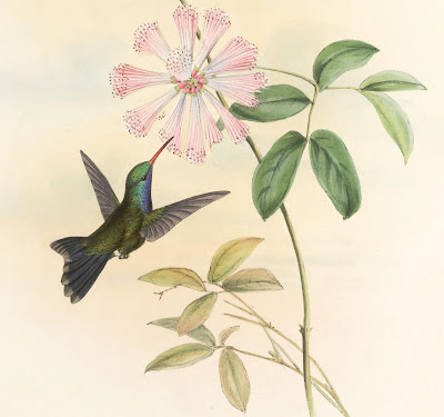 Circe doubledayi - John Gould book illustration