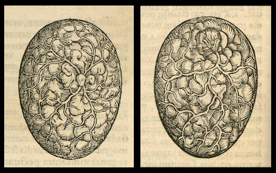 embryology in 1554