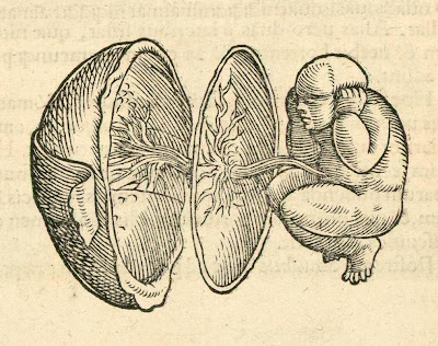 1554 anatomy of foetus, placenta and womb