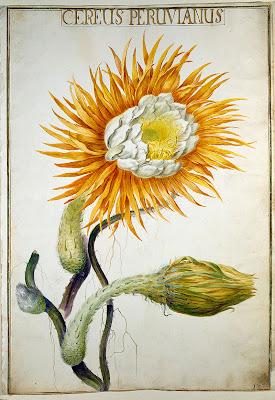 Cereus peruvianus 1730