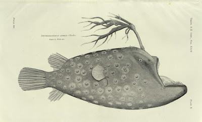 Aegoeonichthys Appelii