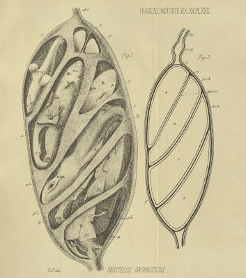 Mustelus Antarcticus