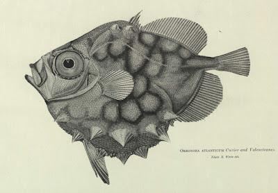 Oreosoma atlanticum Cuvier