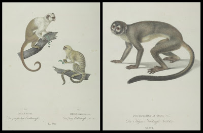 Midas bicolor AND pygmaeus and Nyctipithecus felinus