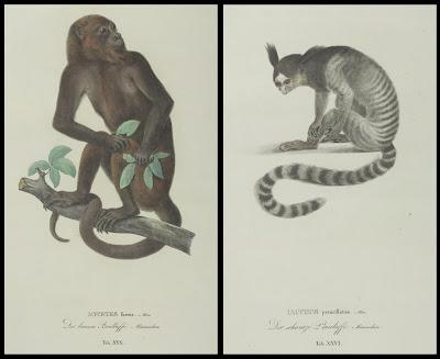 Mycetes fuscus and Iacchus penicillatus