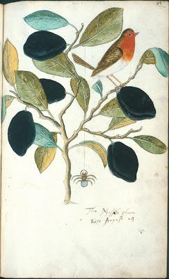 The Mussule plum