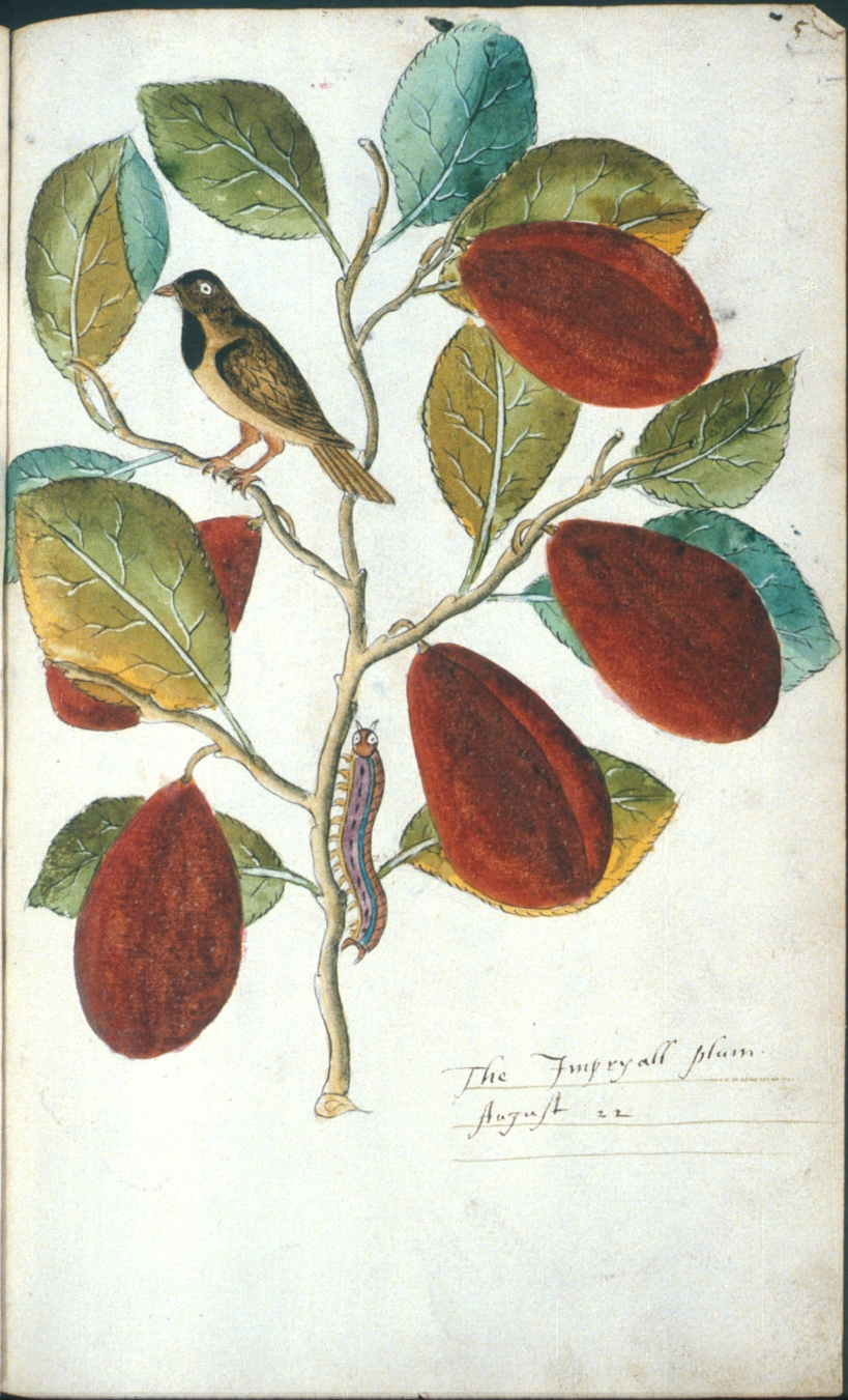 The Imperyall plum