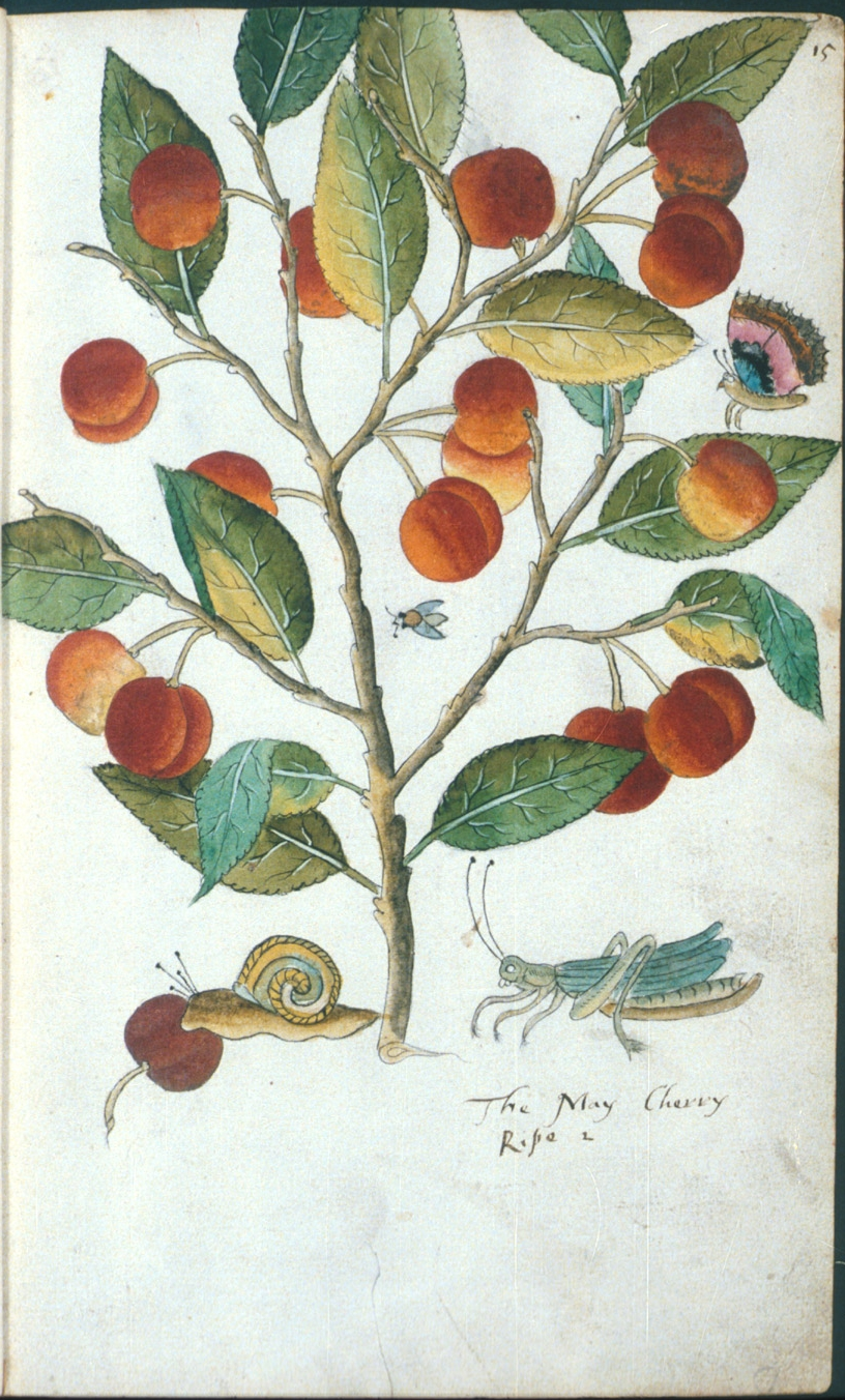 The May Cherry in Tradescant's Orchard