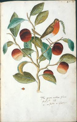 The quene mother plum