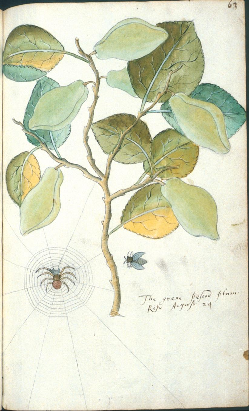 The grene pescod plum