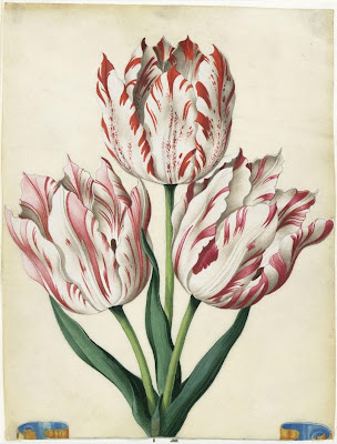 Flora Picta (tulip) by Braun, 1660