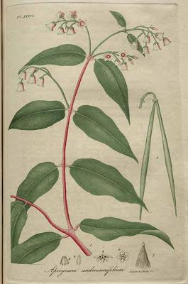 apocynum androsaemifolium - dog's bane