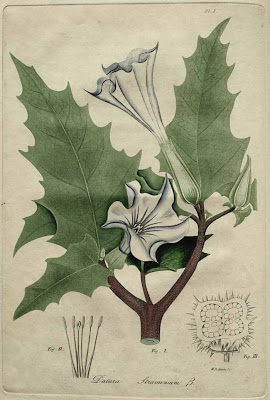 datura stramonium - thorn apple