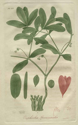 euphorbia ipecacuanha