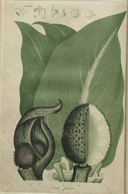 ictodes foetidus - skunk cabbage
