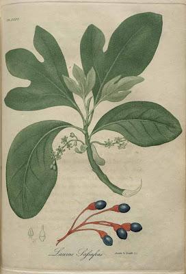 laurus sassafras - sassafras tree