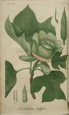 liriodendron tulipifera - tulip tree