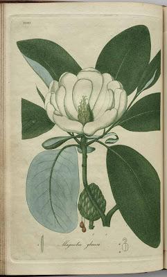 magnolia glauca - small magnolia